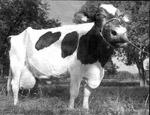 une vache qui a produit 91 kg de lait