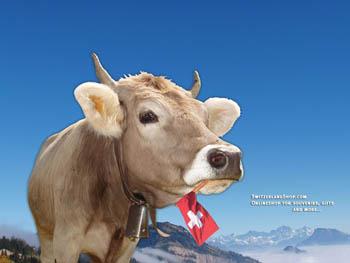lactation chez la vache