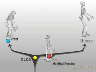 Video: The Analysis of Ardipithecus ramidus--One of the Earliest Known Hominids