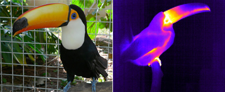 Picture of           toucan