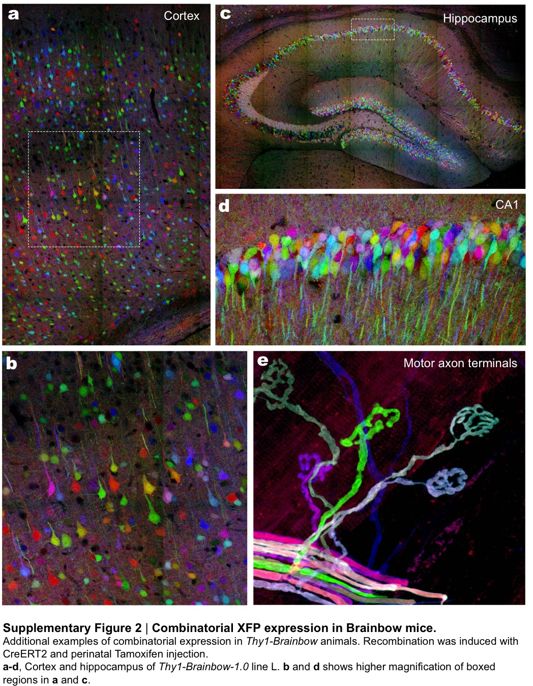 The cover of Nature, courtesy of the Lichtman and Sanes labs, shows a portion of the hippocampus within a 'Brainbow' mouse. The multicolored neurons of the dentate gyrus (bottom) lie beneath the cells of the arching CA1 region, while neurons of the cerebral cortex can be seen twinkling above.