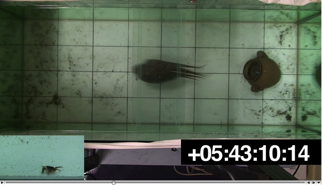 Video, footage of a gloomy octopus responding to a food item, stimulus, as viewed from directly above the test aquarium. The, window superimposed in the bottom left corner shows the, time-locked stimulus video that was presented to the subject