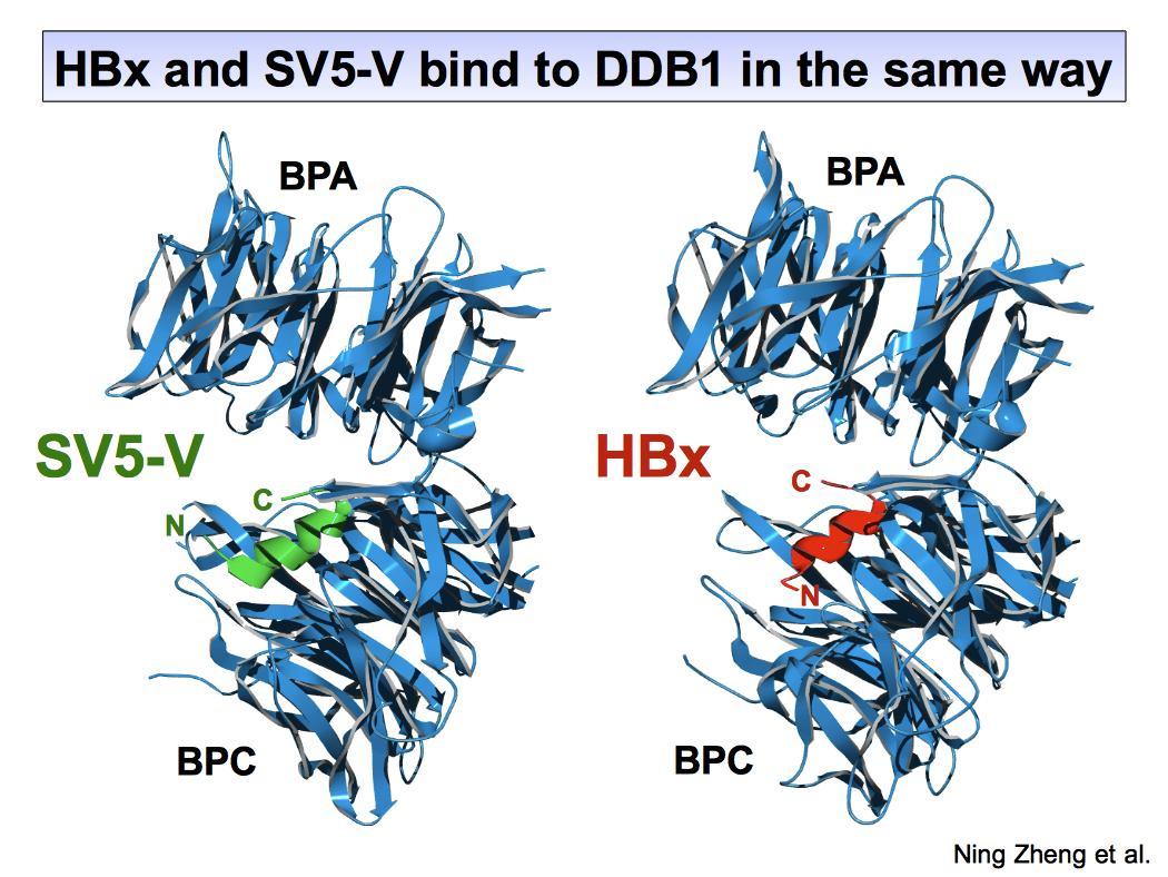 La protéine V du virus SV5 (Gauche) interagit avec la protéine DDB1 exactement comme HBx (droite)