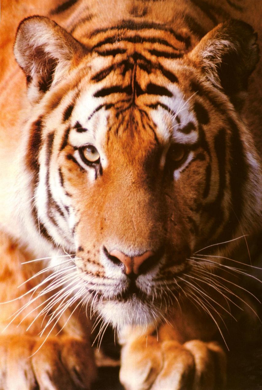 Le Tigre ( toutes sous-espèces confondues) Tigre01