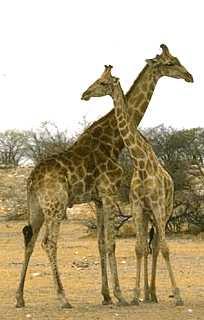 Morphologie - Dessin de girafe en couleur ...